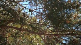 La vista panoramica della bella sfuocatura della scena magica della foresta con gioco del sole attraverso il ramo del pino e la l stock footage