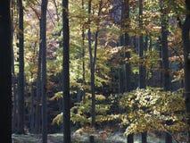 La vista scenica degli alberi variopinti in foresta in montagne di Beskid abbellisce in POLONIA Fotografia Stock