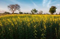 La vista scenica dei giacimenti di fiore gialli abbellisce con il natu del cielo blu Fotografia Stock Libera da Diritti