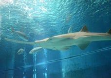 La vista subacquea di vita marina ha visto dei pesci sega in Genoa Aquarium Fotografie Stock