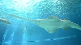 La vista subacquea di vita marina ha visto dei pesci sega in Genoa Aquarium Fotografie Stock Libere da Diritti