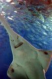 La vista subacquea di vita marina ha visto dei pesci sega in Genoa Aquarium Fotografia Stock Libera da Diritti