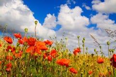 La vista sul campo di erba dell'orzo di estate con il papavero di cereale rosso fiorisce i rhoeas del papavero contro cielo blu c fotografia stock libera da diritti