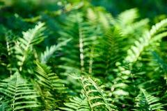 La vista sulla felce verde lascia nell'ambito di luce solare nel legno Immagine Stock