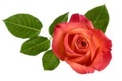 La vista superior del rojo aislado se levantó con las hojas Foto de archivo libre de regalías
