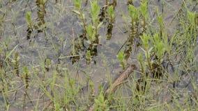La vista superiore dei girini ha chiamato inoltre un pollywog Fase larvale nel ciclo di vita di un amfibio, specialmente quello d stock footage