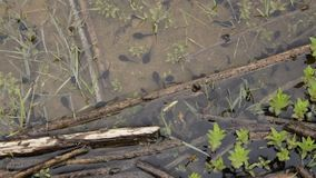 La vista superiore dei girini ha chiamato inoltre un pollywog Fase larvale nel ciclo di vita di un amfibio, specialmente quello d video d archivio