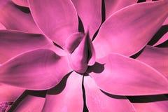 La vista superiore del dettaglio del cactus dell'aloe nella tonalità alla moda viola Immagini Stock Libere da Diritti