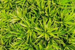 La vista superiore del gambo di aloe vera è una pianta con molti benefici Immagine Stock