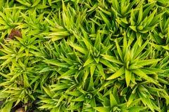 La vista superiore del gambo di aloe vera è una pianta con molti benefici Fotografia Stock Libera da Diritti