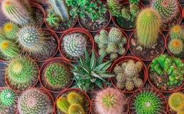 La vista superiore del vaso del cactus della miscela della pagina del cactus e Scculent piantano il piano Fotografie Stock