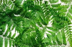 La vista superiore della felce tropicale verde va su fondo bianco Disposizione piana Concetto minimo di estate fotografia stock libera da diritti