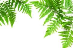 La vista superiore della felce tropicale verde va su fondo bianco Disposizione piana Concetto minimo di estate Spazio opy del ? d fotografia stock libera da diritti