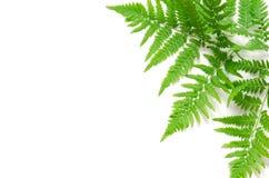 La vista superiore della felce tropicale verde va su fondo bianco Disposizione piana Concetto minimo di estate Spazio opy del ? d fotografia stock
