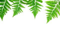 La vista superiore della felce tropicale verde va su fondo bianco Disposizione piana Concetto minimo di estate Spazio opy del ? d fotografie stock