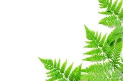 La vista superiore della felce tropicale verde va su fondo bianco Disposizione piana Concetto minimo di estate Spazio opy del ? d immagine stock libera da diritti