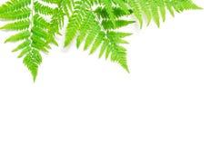 La vista superiore della felce tropicale verde va su fondo bianco Disposizione piana Concetto minimo di estate Spazio opy del ? d immagini stock libere da diritti