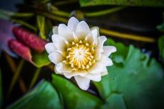 La vista superiore, fiori di loto bianco del primo piano fiorisce nell'acqua Fotografie Stock Libere da Diritti