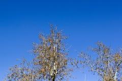 La vista superiore ha sparato dei rami multipli degli alberi nella stagione di autunno Fotografia Stock