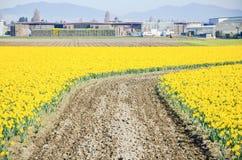 La vista superiore s-ha curvato il percorso di bobina nell'azienda agricola del narciso alla valle di Skagit Immagine Stock