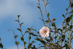La vita comincia in primavera Camelia rosa immagine stock libera da diritti