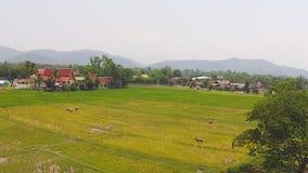 La vita del bufalo di vista aerea in metraggio del giacimento del riso ha sparato sopra archivi video