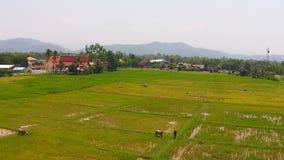 La vita del bufalo di vista aerea in metraggio del giacimento del riso ha sparato sopra video d archivio
