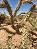 La vita del cactus Immagini Stock Libere da Diritti