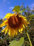 La vita gialla del giardino del cielo del fiore del girasole naturen il cielo del giardino Immagini Stock Libere da Diritti