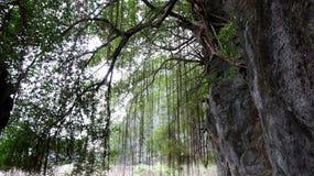 La vitalidad intensa del árbol joven del acantilado foto de archivo