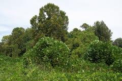 La vite di pueraria di cina e giappone ha coperto gli alberi nel Mississippi del nord Immagini Stock Libere da Diritti