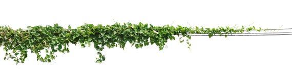 La vite, edera lascia la pianta sui pali isolati sul backgrou bianco fotografia stock