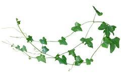 La vite, edera lascia la pianta sui pali isolati sul backgrou bianco immagini stock libere da diritti
