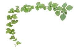 La vite, edera lascia la pianta sui pali isolati sul backgrou bianco immagini stock