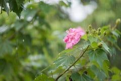 La vitesse de volet lente de la fleur rose de coton avec de l'eau chute dans le jour pluvieux Photo libre de droits
