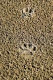 La voie d'un chien dans le sable Un chien marchait le long du bord de la mer et a laissé des traces dans le sable Photos stock
