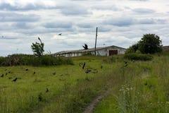 La volée des oiseaux noirs vole au-dessus du pré et du chemin de terre, countr Photographie stock libre de droits