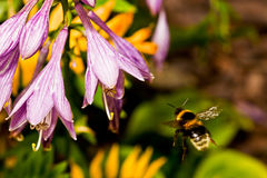 La volata Bumble l'ape Fotografie Stock