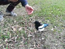 La voleuse de pie au parc Image stock