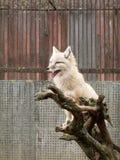 La volpe bianca - profonda   Immagini Stock Libere da Diritti