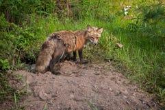 La volpe di Fox rosso (vulpes di vulpes) custodice Den Entrance ed i corredi Immagine Stock