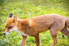La volpe lateralmente Fotografia Stock