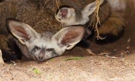 La volpe Pipistrello-eared e la sua famiglia Immagini Stock