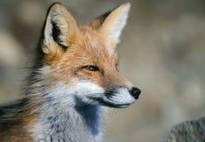 La volpe rossa di gran lunga si chiude su (vulpes di vulpes), l'Alaska, tana Fotografia Stock