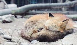 La volpe rossa sola nello zoo fotografia stock