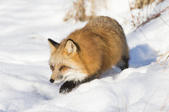 La volpe rossa sopra vaga in cerca di preda Immagine Stock Libera da Diritti