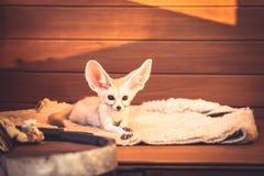 La volpe sveglia dell'animale domestico che si trova sulla sensibilità morbida della lettiera gradisce una regina in albergo di l Immagini Stock Libere da Diritti