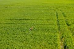 La vue aérienne des cerfs communs fonctionnant dans les collectes vertes mettent en place photographie stock