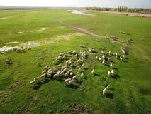 La vue aérienne des moutons s'assemblent sur le pré de ressort Photographie stock libre de droits