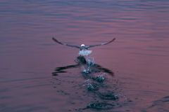 La vue arrière de la mouette faisant un pas, effectuant le vol avec des pas et éclabousse dans l'eau ondulée images stock